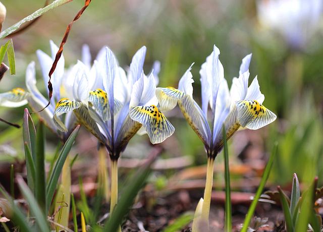 iris histrioides Katharine hodgkin (9)