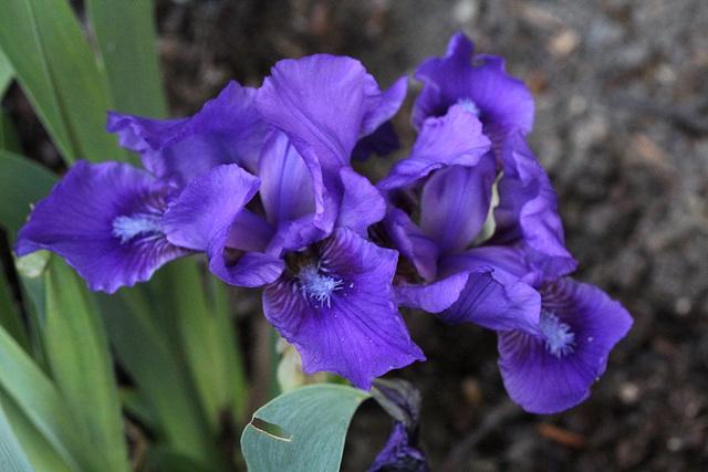 Iris nain ' Banburry Ruffles '