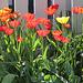 Tulipes coquelicots