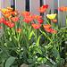Tulipes coquelicots (2)
