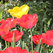 rouge pétant chez les tulipes
