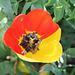 tulipe chimère