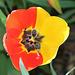 tulipe-Chimère rouge et jaune