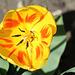 Tulipe flammée (3)