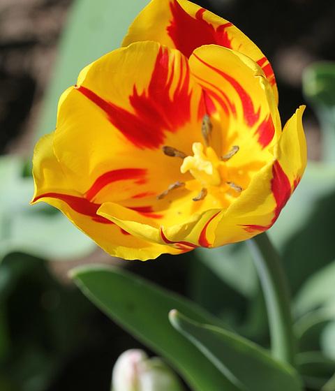Tulipa - grands hybrides - tulipes chics et kitch (sections 1 à 11) 10363268.db2c9936.560