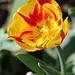 Tulipe flammée (2)