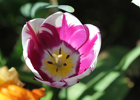 Tulipa - grands hybrides - tulipes chics et kitch (sections 1 à 11) 10363269.43b257c4.560