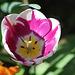 tulipe flammée