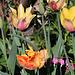 Grandes tulipes