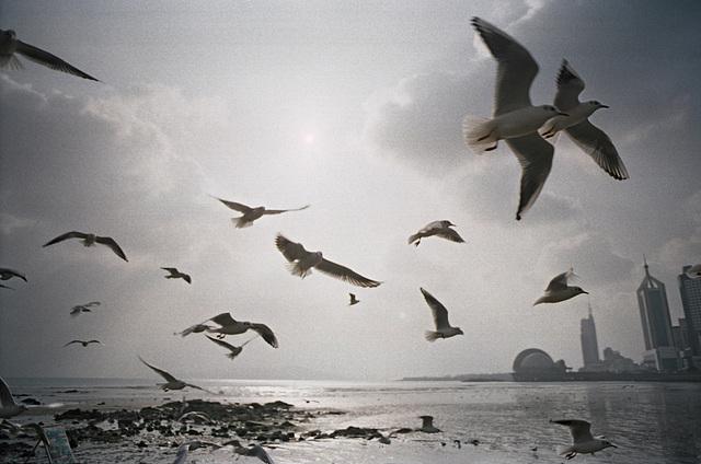 Gulls I.