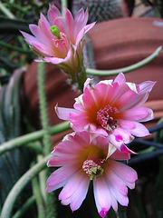 Cactus Flowers (1749)