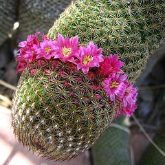 Cactus Flowers (1752)