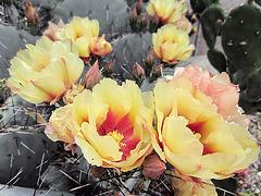 Cactus Flowers (0311)