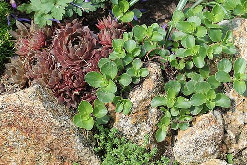 Sedum spurium et Joubarbe cuivrée