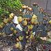 Flowering Cactus (0300)