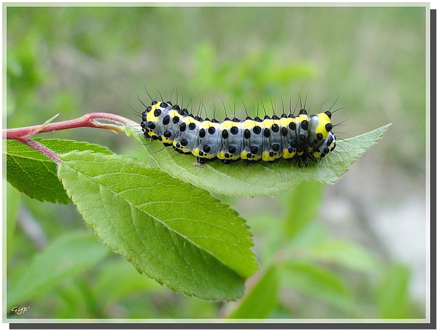 Diloba caeruleocephala (chenille)
