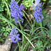 Muscari armeniacum double (2)