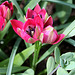 Tulipa  x hageri little beauty 3