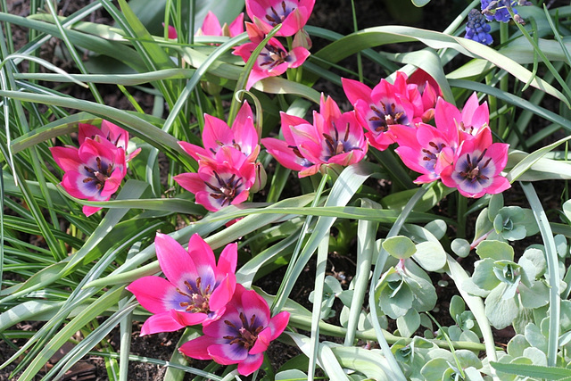 Tulipa  x hageri little beauty