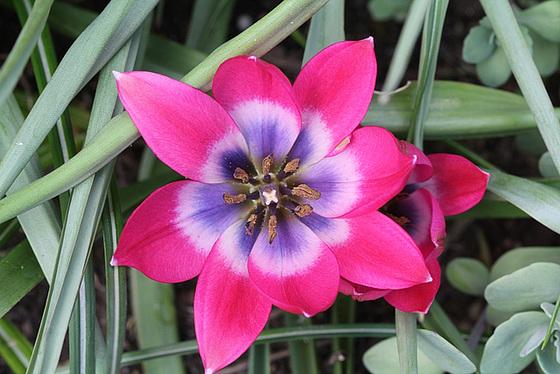 Tulipa - espèces et petits hybrides (sections 12 à 15) 10363338.823353ff.560