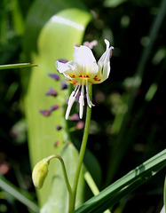 Erythronium californicum White beauty (2) 2