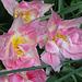 petites tulipes doubles