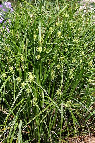 Carex grayi- Laîche massue