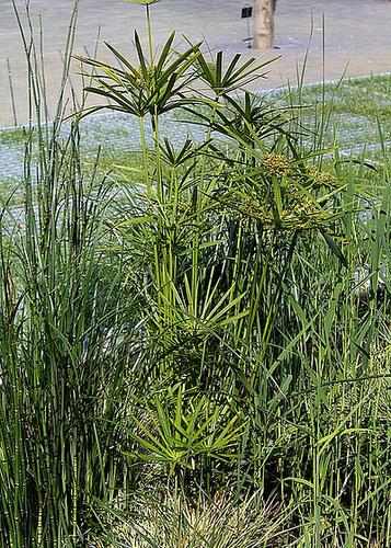 Cyperus alternifolius - Le jardin à la rue