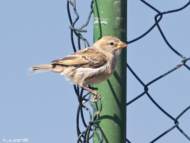 Gorrión moruno (Passer hispaniolensis)