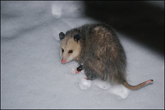Opossum *
