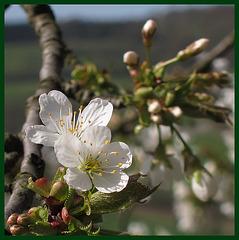 Kirschblüte in der Rühler Schweiz