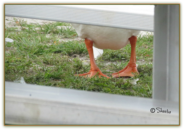 Story of a goose . .