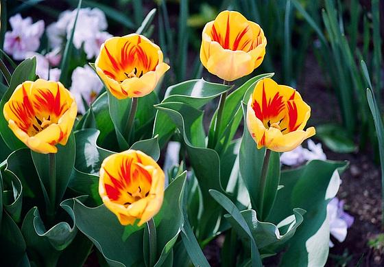 Tulipa - grands hybrides - tulipes chics et kitch (sections 1 à 11) 10413587.8efdf771.560
