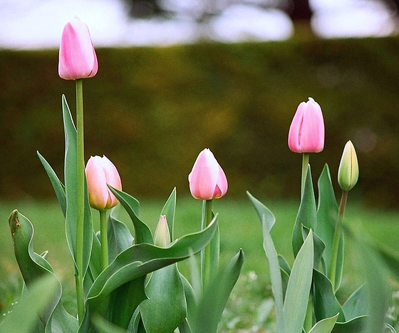 Tulipa - grands hybrides - tulipes chics et kitch (sections 1 à 11) 10413599.6bb879bd.560