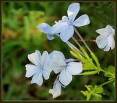 Blue Plumbago . .