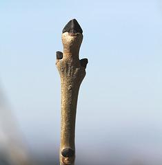 Frêne- Bourgeons