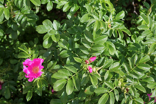 Rosa rugosa 2