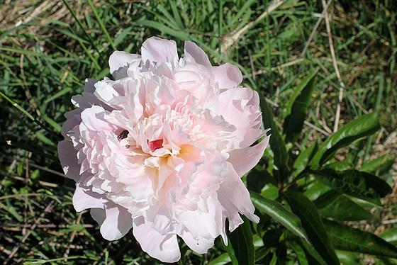 Paeonia - pivoines herbacées 10673757.b405c40e.560