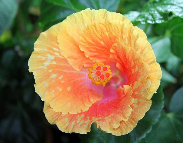 Hibiscus It's so Easy (3)