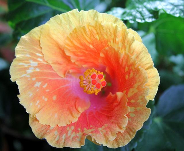 Hibiscus It's So Easy (2)