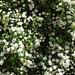 weißer Blütenregen