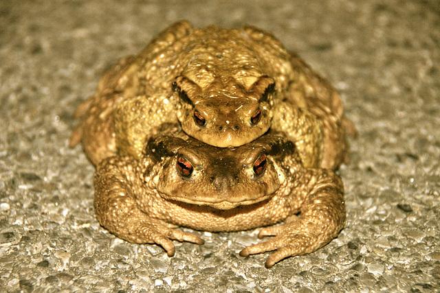 Attention, une grenouille peut en cacher une autre