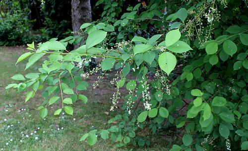 Prunus padus (4)