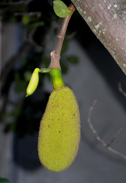 Jackfrucht-Teenie