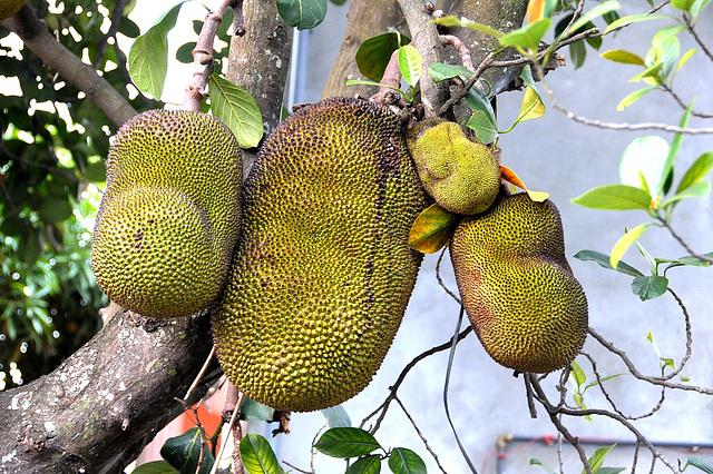 Jackfrucht-Familie