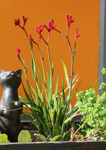 Anigozanthos-Plante Kangourou- le jardin de Mme Irma
