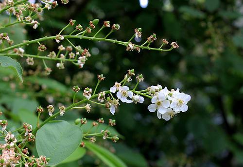 Prunus padus (5)