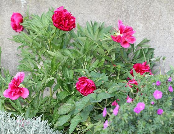 Paeonia - pivoines herbacées 10534149.7a4ef6c5.560