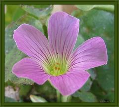 green .. Pink Woodsorrel (Oxalis debilis)
