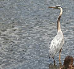 Sunshine heron. .